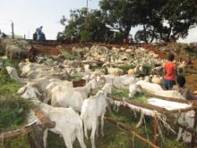 Point de ventes moutons à Conakry